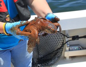 Turtle Covered in Oil - BP Oil Spill Wildlife